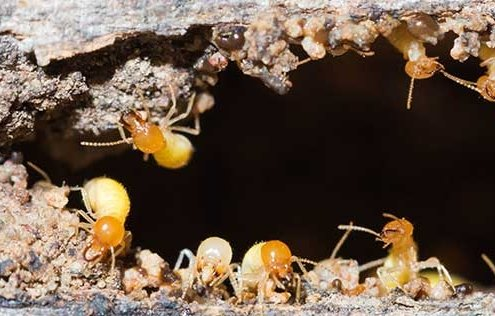 Termites and Spray Foam Insulation